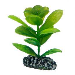 Hobby plante Saururus HOBBY  Plantes