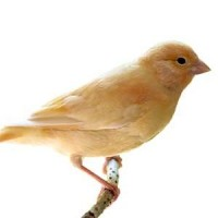 Cage pour Canaris :  Cage pour votre oiseau