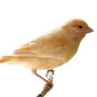 Nourriture pour Canari : Alimentation pour oiseaux