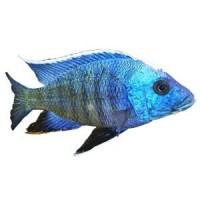 Nourriture poissons Cichlidés - Boutique Aquariophilie L'exotus